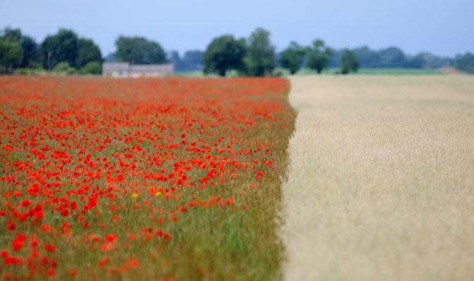 Ralph Farm Poppies next to oats